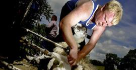 Sheep Shearing at Annual Sheep Day